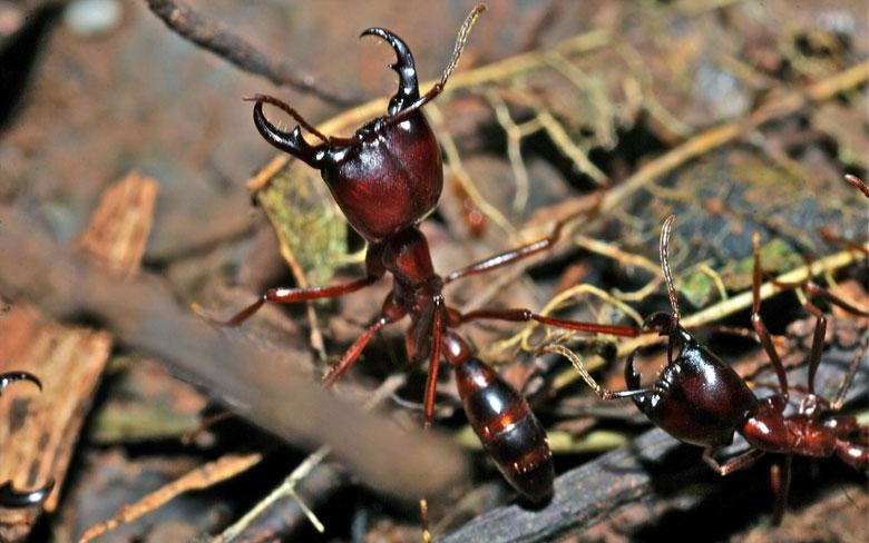 Siafu Ant