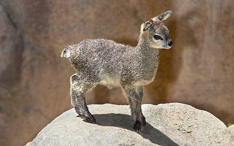 Baby Klipspringer