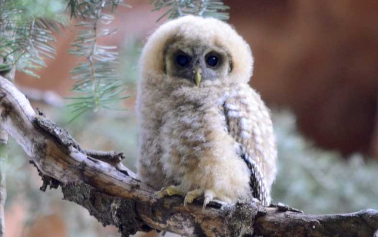 Baby Little Owlet