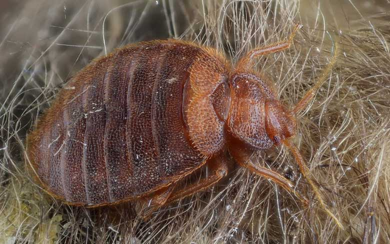 Bed bugs - The worst bugs in the world