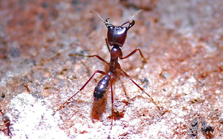 Dorylus Ants