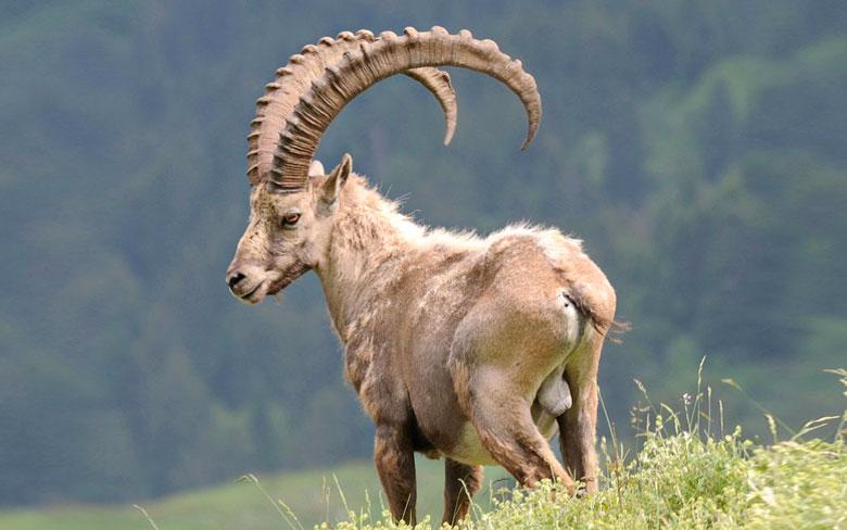 Ibex Hybrid