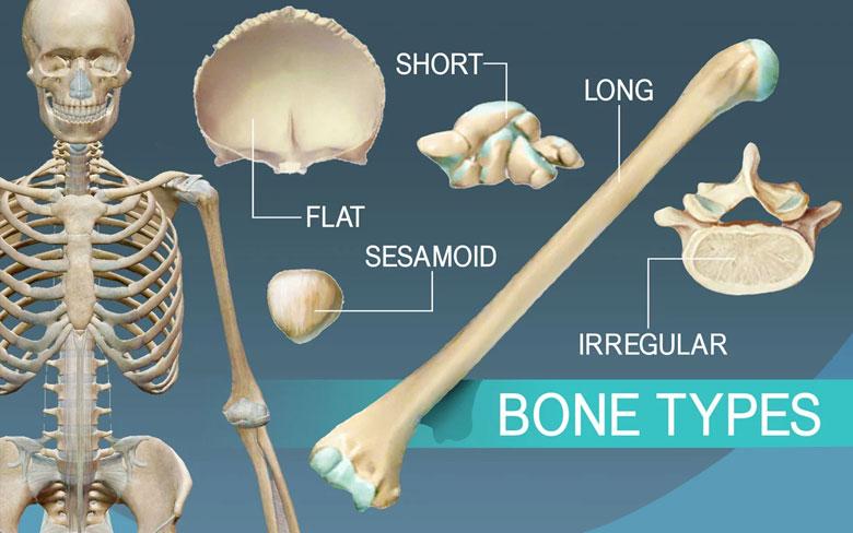 Bones Types