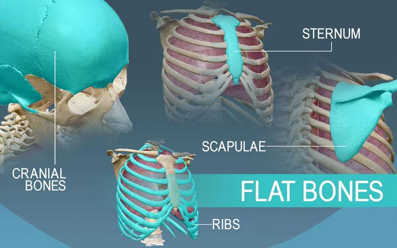 Flat bones