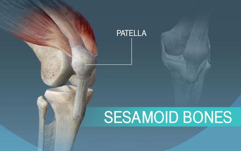 Sesamoid Bones