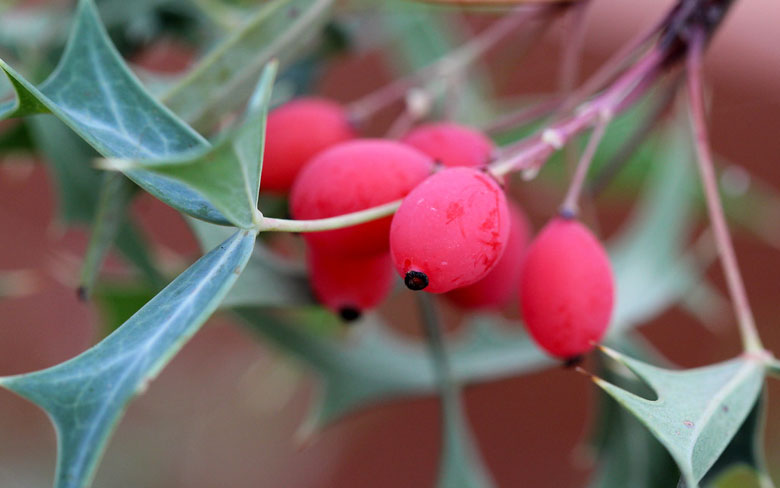 Agarita Berries