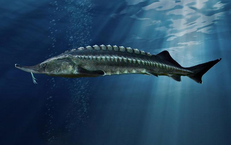 Beluga (Sturgeon)